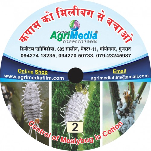 Kapas ko milibug se bachaye (IPM for cotton mealybug)