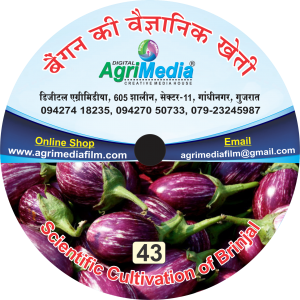 Bengan ki vaiganik kheti (Scientific Cultivation of Brinjal)